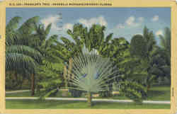 Traveller's Tree, (Ravenala Madagascariensis)
