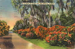 A Hedge of Flame Vine and Hibiscus Postcard