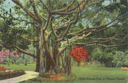 Gaint Banyan Tree in Tropical Florida