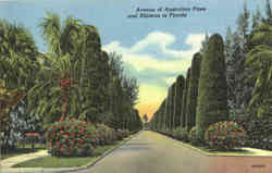 Avenue of Australian Pines and Hibiscus in Florida