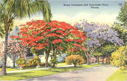 Royal Poinciana and Jacaranda Trees