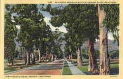 An Avenue Bordered with Picturesque Eucalyptus Trees, Santa Anita Avenue