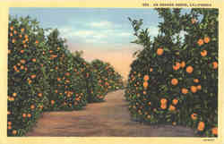 An Orange Grove