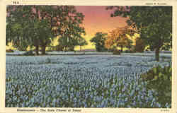 Bluebonnets-The State Flower of Texas