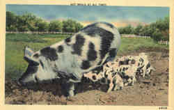 Hot Meals at all Times - Pigs, piglets Postcard