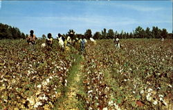 Cotton Pickin Time