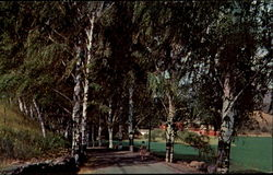 The Birches At Cairo Postcard