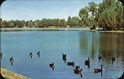 A Flock Of Friendly Wild Geese Postcard