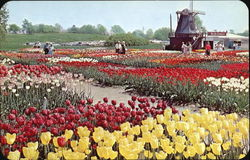 It's Tulip Time Every Year In May