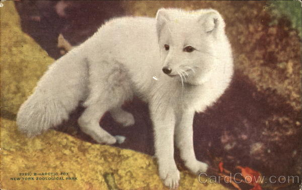 Arctic Fox, New York Zoological Park