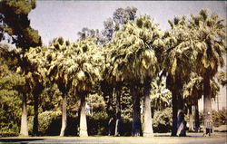 Palms In Roeding Park