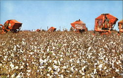 Cotton Picking The Wiregrass Area