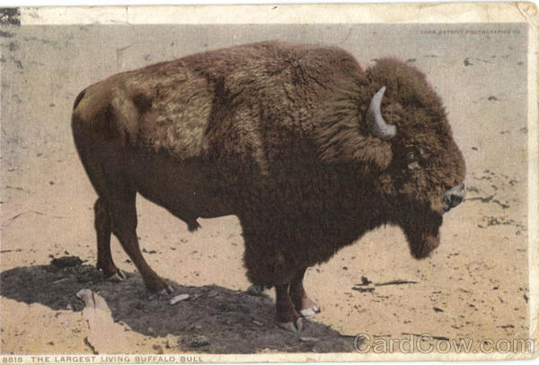 The Largest Living Buffalo Bull