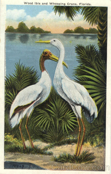 Wood Ibis and Whooping Crane Birds
