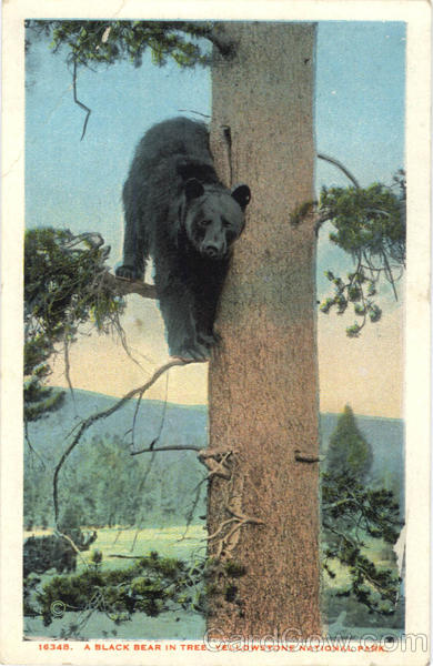 A Black Bear In Tree Yellowstone National Park Wyoming
