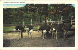 Ostrich Farm At Hot Springs
