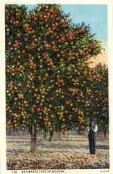 An Orange Tree In Arizona