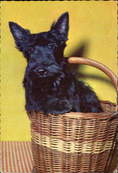 Scottish Terrier in Basket Dogs