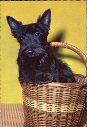 Scottish Terrier in Basket