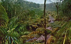 Fern Forest, Hawaiian National Forest