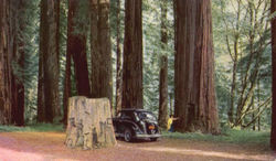 Redwood Grove, U. S. Highway 101