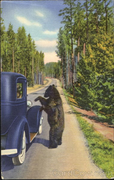 A Bear Beggar, Yellowstone National Park