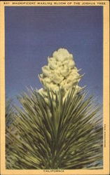 Magnificent Waxlike Bloom Of The Joshua Tree