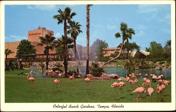 Flamingos In Colorful Busch Gardens Tampa Florida