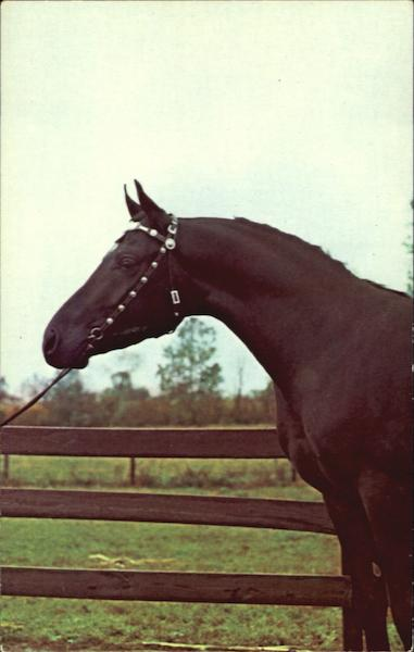 Arabian Stallion Faress Shade Indiana Horses