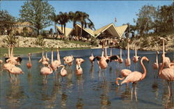 Flock Of Colorful Flamingos Keeping Cool Postcard