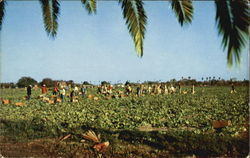 Lettuce Harvest In South Texas Postcard