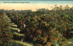 Scene In A California Orange Grove