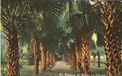 An Avenue Of Palms