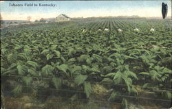 Tobacco Field In Kentucky