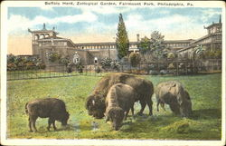 Buffalo Herd, Zoological Garden, Fairmount Park