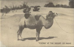 Camel Toona At The Desert Of Maine