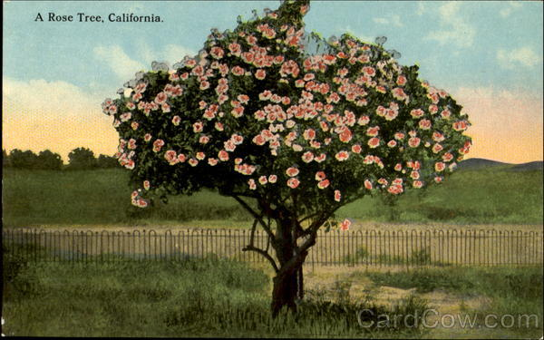 A Rose Tree, California Trees