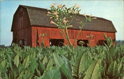 Southern Maryland's Colorful Tobacco Auctions