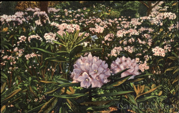 Rhododendron And Laurel Flowers