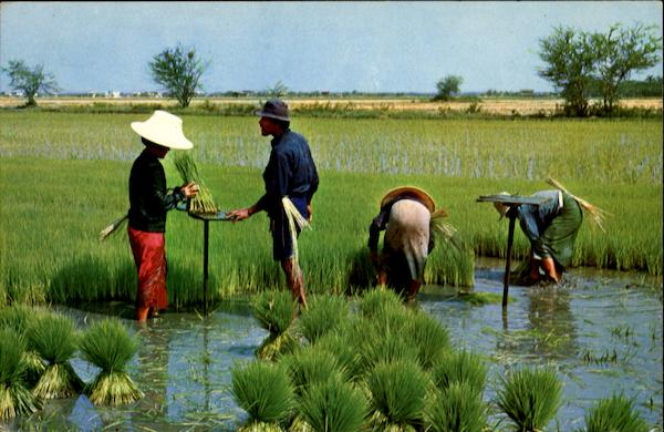 Cultivation Of The Rice In Thailand Southeast Asia