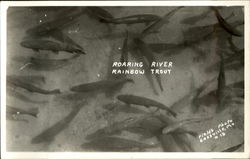 Roaring River Rainbow Trout Postcard