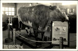 Largest Steer In The World