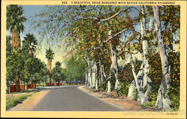 A Beautiful Drive Bordered With Native California Sycamores
