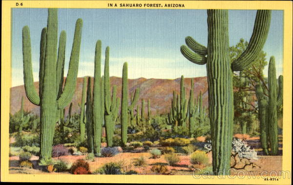 In A Sahuaro Forest Arizona Cactus & Desert Plants