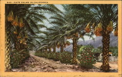 Date Palms In California