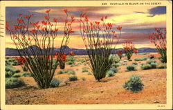 Ocotillo In Bloom On The Desert