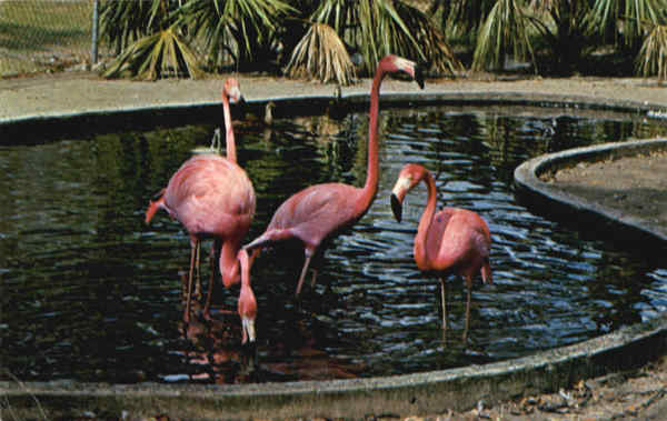 Colorful Flamingos thrive in Florida's tropical climate