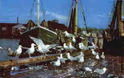 Gulls Feasting On Fish Scraps