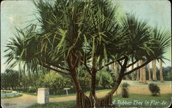 A Rubber Tree In Florida