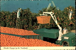 Florida Oranges By The Truckloads